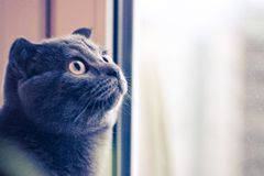 Grey cat looks out the window, cat looks up, cat with yellow eyes, British breed of cat. Grey cat looks out the window, cat looks up, cat with yellow eyes royalty free stock photo