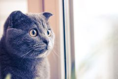 Grey cat looks out the window, cat with yellow eyes. Interested look of a cat stock photos