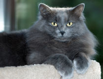 Grey Cat Lounging. Long-haired gray cat with golden eyes lounges while intently gazing towards the camera Stock Image