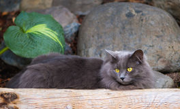 Grey Cat Lounging. Long-haired gray cat with golden eyes lounges in a rock garden while intently gazing camera left Stock Images