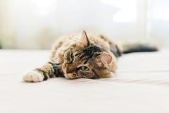 Grey cat lying Stock Photos