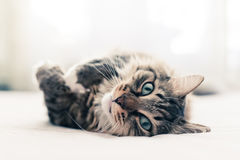 Grey cat lying Royalty Free Stock Images