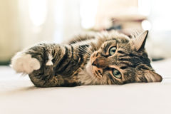 Grey cat lying Stock Images