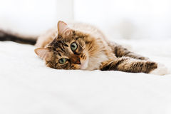 Grey cat lying. On bed Royalty Free Stock Image