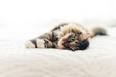 Grey cat lying Royalty Free Stock Photo