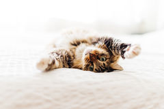 Grey cat lying Royalty Free Stock Photos