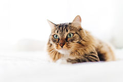 Grey cat lying Stock Image
