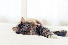 Grey cat lying Royalty Free Stock Photography