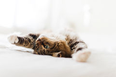 Grey cat lying Stock Photography