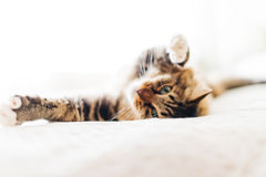 Grey cat lying. On bed Royalty Free Stock Photography