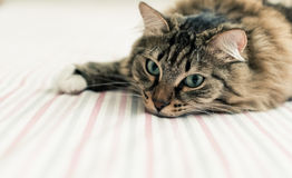 Grey cat lying on bed Royalty Free Stock Image