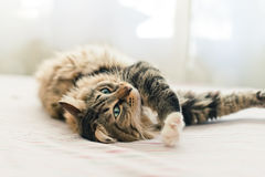 Grey cat lying on bed Royalty Free Stock Photos