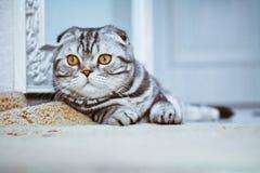 Grey cat lying on the floor. cat playing, Scottish Fold Stock Photos