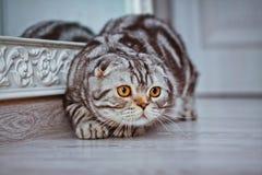 Grey cat lying on the floor. cat playing, Scottish Fold Stock Image