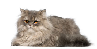 Grey cat lying in front of white background. View of grey cat lying in front of white background Royalty Free Stock Image