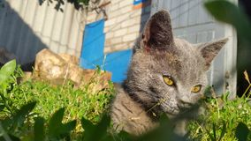 Grey cat lying in the grass Royalty Free Stock Image