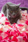 Grey cat lying on petals of roses. Stock Photos