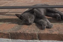 Grey cat lying on street looking into camera. A grey street cat from arcos de la frontera Spain enjoying the hot sun on some bricks Royalty Free Stock Image