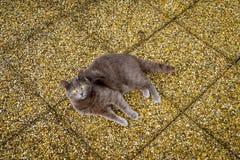 Grey cat lying on yellow pebbles background, yellow eyes. Stock Photos
