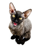 Grey cat meowing Royalty Free Stock Photography