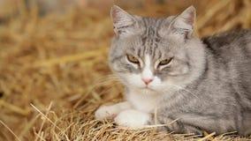 Grey Cat Monitoring Territory stock video