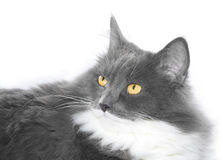 Grey cat with orange eyes Royalty Free Stock Photos