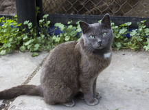 Grey cat. The ordinary grey cat with blue eyes Stock Images