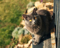 Grey Cat Outdoor. A grey cat with yellow eyes sitting on a balcony - late afternoon in the outdoors Royalty Free Stock Photography
