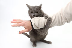 Grey cat paws grabbed the person`s hand. The grey cat paws grabbed the person`s hand stock photography