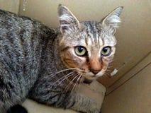 Grey Cat Royalty Free Stock Photos