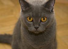 Grey cat portrait. Portait of the Scottish fold cat with orange eyes Stock Images