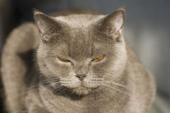 Grey cat portrait Royalty Free Stock Photos