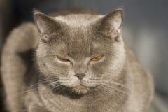 Grey cat portrait. Portait of the Scottish fold cat with orange eyes Royalty Free Stock Photos
