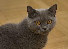 Grey cat portrait. Portait of the Scottish pure breed cat with orange eyes Royalty Free Stock Photo