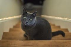 Grey Cat Portrait Stock Photos