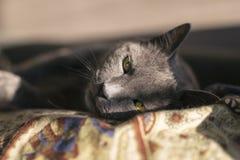 Grey Cat Portrait Stock Photography