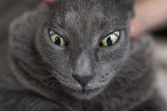 Grey Cat Portrait Royalty Free Stock Photography