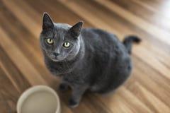 Grey Cat Portrait Stock Photo