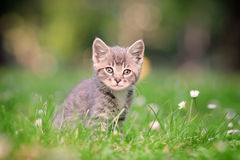 A grey cat posing. Outside stock photo