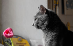 Grey cat in profile Stock Photography