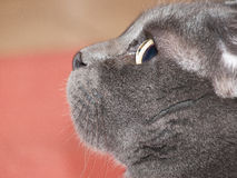 Grey cat profile. Whit blur background Stock Image