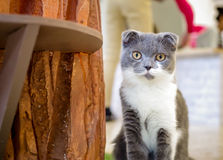 Grey Cat que mira a usted Fotografía de archivo