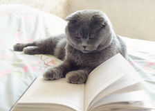 A grey cat. Reading a book Stock Photo