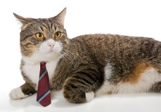 Grey  cat with a red tie Royalty Free Stock Photo