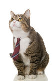 Grey  cat with a red tie Royalty Free Stock Images
