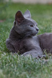 Grey cat. A grey cat relaxing on the grass Stock Photos