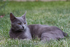 Grey cat. A grey cat relaxing on the grass Royalty Free Stock Images
