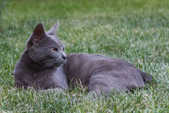 Grey cat. A grey cat relaxing on the grass Royalty Free Stock Photo