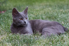 Grey cat. A grey cat relaxing on the grass Royalty Free Stock Photos