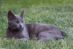 Grey cat. A grey cat relaxing on the grass Stock Images
